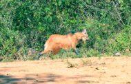 Cebus devolve mais um lobo-guará à natureza