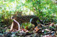 Espécie rara de gato silvestre é encontrada em área da Cenibra
