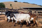 Vacinação contra febre aftosa em Minas vai até segunda-feira