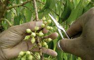 Cenibra diversifica estratégia na geração de novos clones de eucalipto