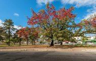 Florada de árvores colore a paisagem urbana de Ipatinga