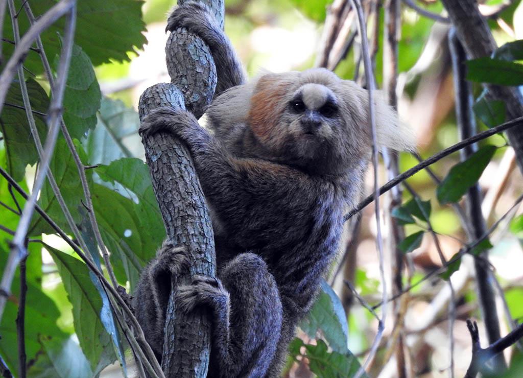 Parceria entre Cenibra e universidade conserva espécie ameaçada de extinção